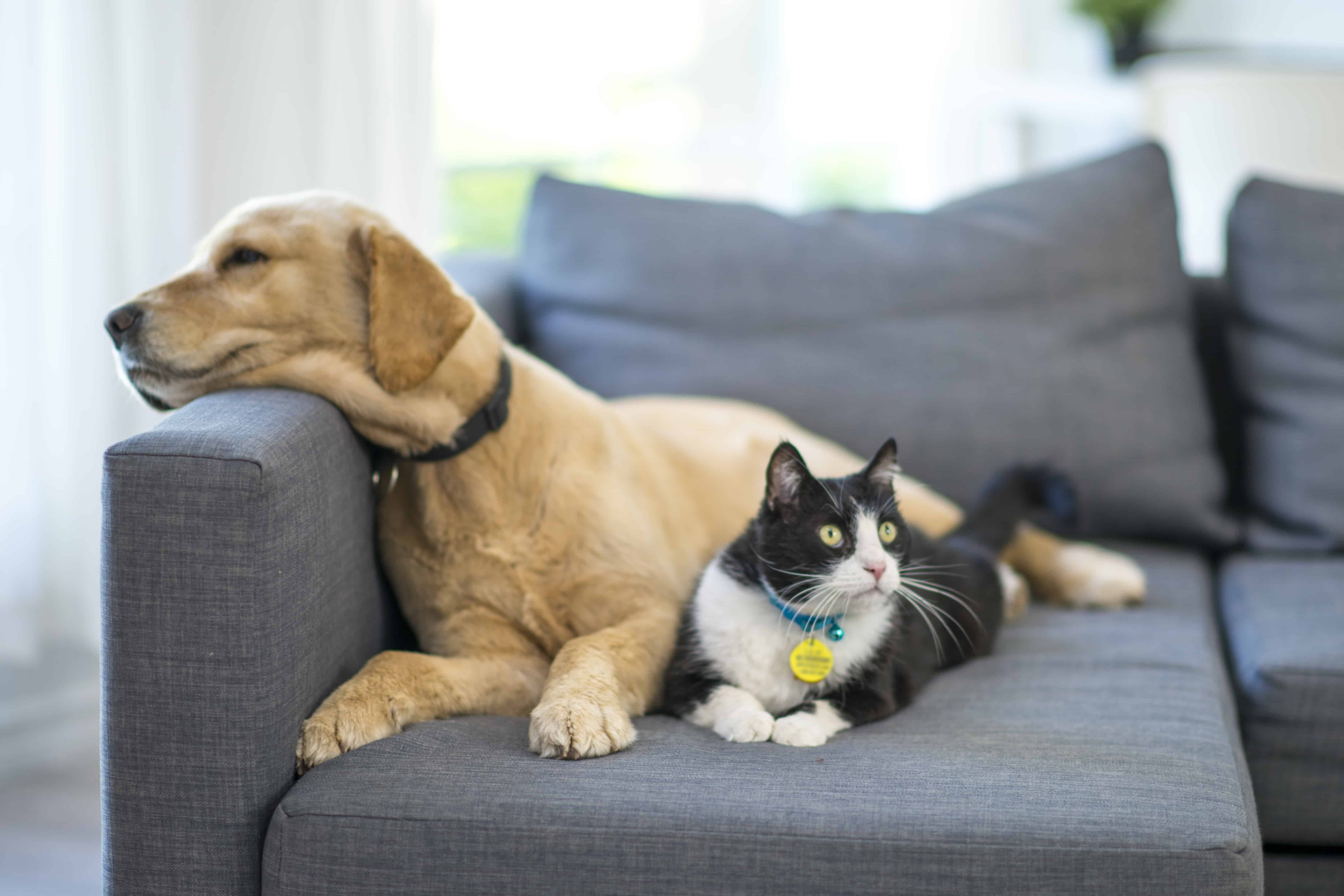 A young golden retriever dog and a black and white domestic cat are lying on a sofa in the living room.
